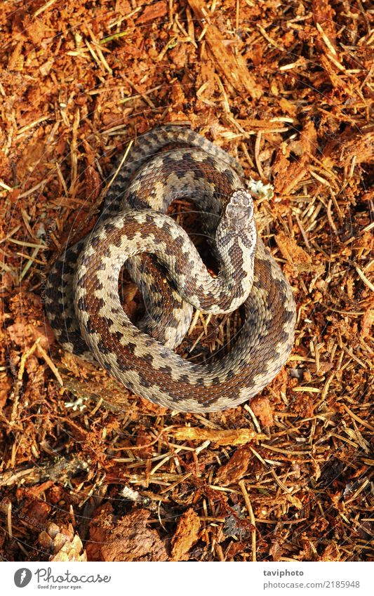 Vipera berus standing on forest ground Beautiful Nature Animal Forest Wild animal Snake Natural Brown Fear Dangerous vipera venomous wildlife Reptiles adder