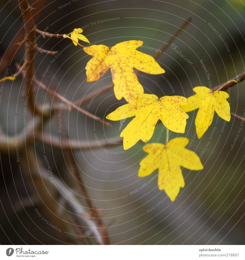 Nature Plant Leaf Yellow Cold Autumn Brown Environment Change To fall Transience Branch Bleak Autumn leaves Survive Bad weather