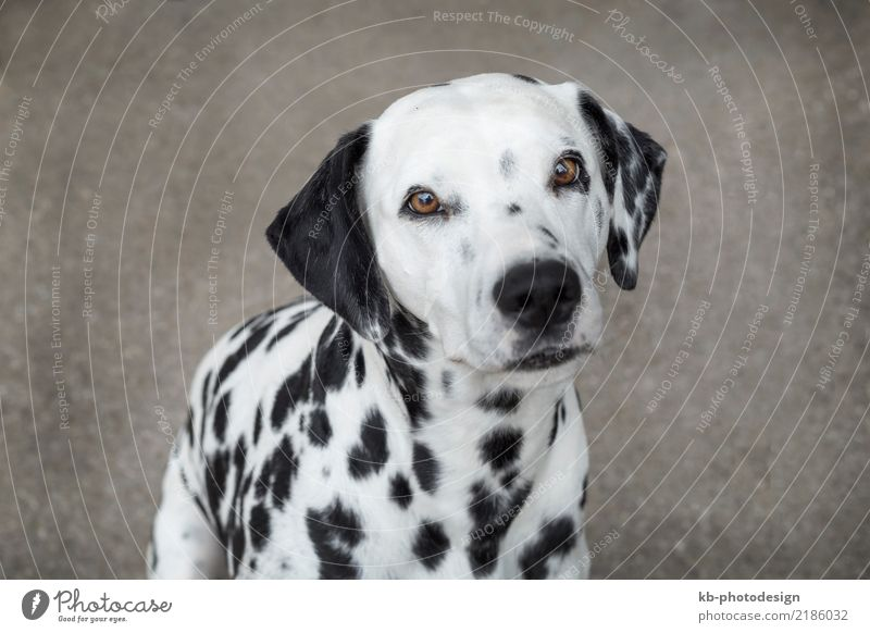 Portrait of a Dalmatian dog outside Animal Pet Dog Feeding domestic animal obedience views mammal portrait friend Dog sports For hound garden autumn autumnal