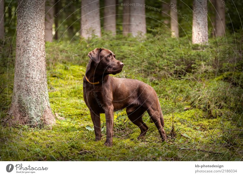 Brown Labrador dog outside Animal Pet Dog 1 Baby animal Going domestic animal obedience views mammal brown portrait friend Dog sports For hound forest autumn