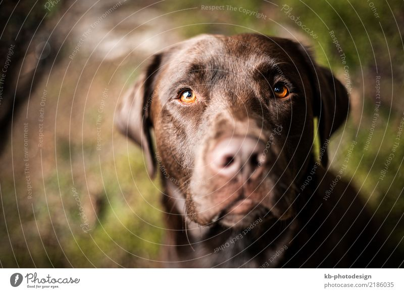 Portrait of a brown Labrador dog Animal Pet Dog 1 Sit Emotions Moody domestic animal obedience views mammal portrait friend Dog sports For hound forest autumn