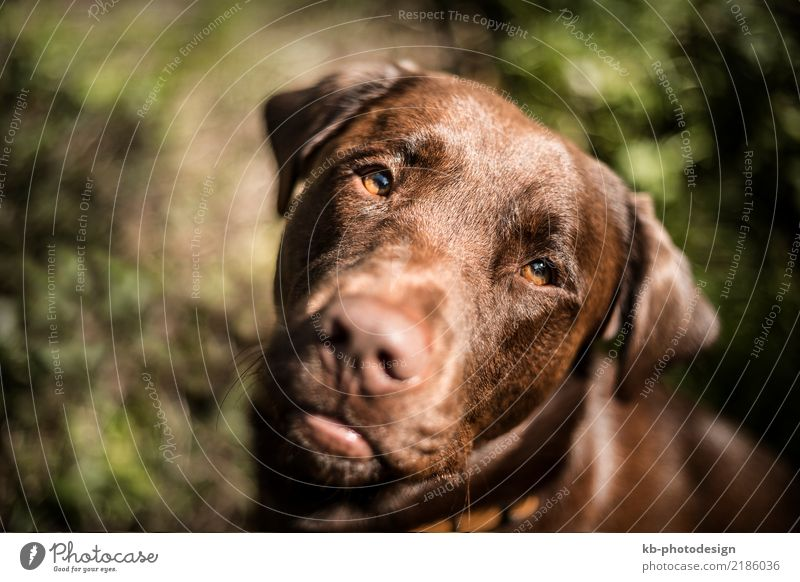 Portrait of a brown Labrador Animal Pet Dog 1 Pair of animals Going domestic animal obedience views mammal portrait friend Dog sports For hound forest autumn