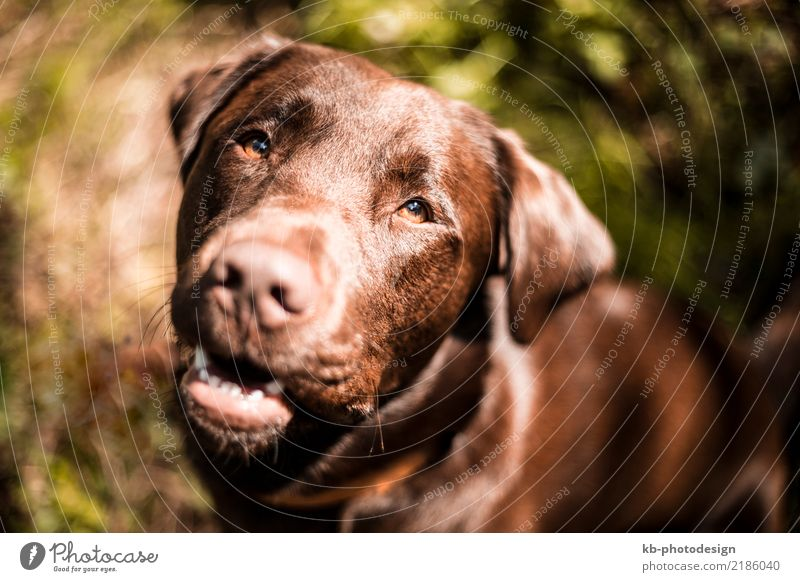 Dog Animal Curiosity Pet Endurance Labrador
