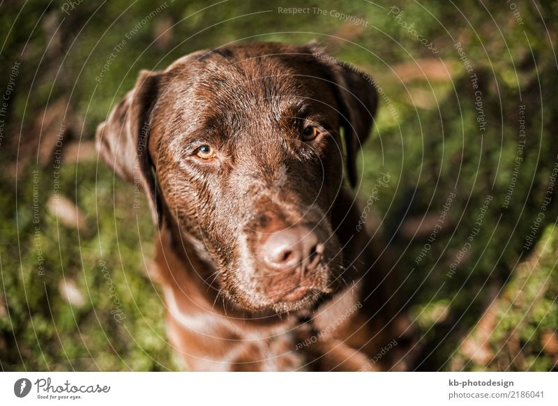 Portrait of a brown Labrador dog Animal Pet Dog Going Joy domestic animal obedience views mammal portrait friend Dog sports For hound forest autumn autumnal