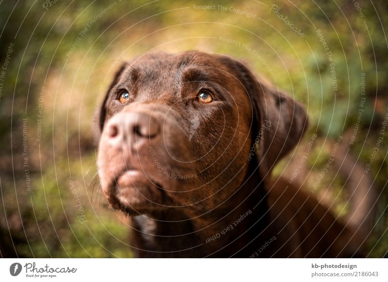 Portrait of a brown Labrador dog Animal Pet Dog 1 Baby animal Emotions Moody domestic animal obedience views mammal portrait friend Dog sports For hound forest