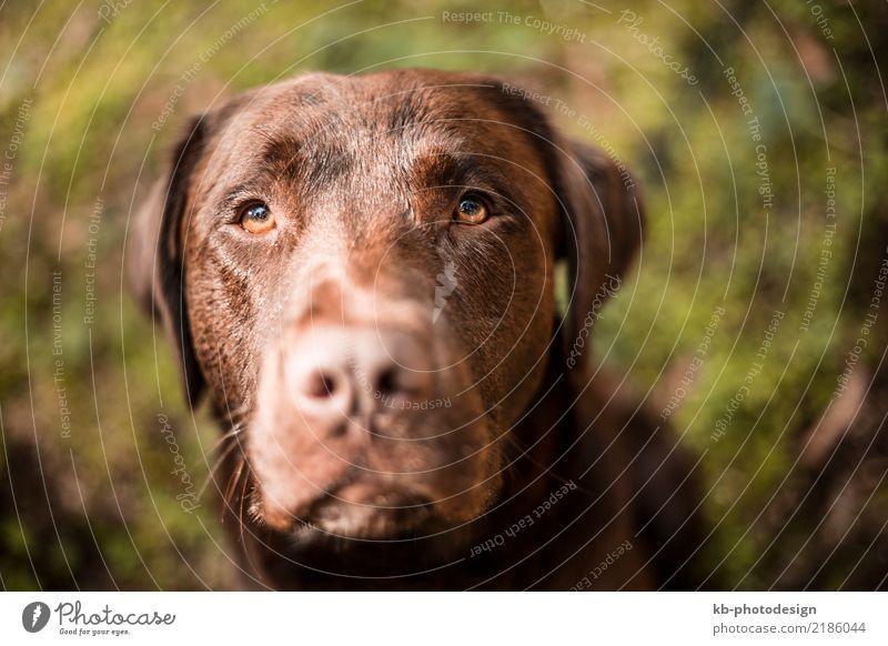 Portrait of a brown Labrador dog Animal Dog Animal face 1 Feeding domestic animal obedience views mammal portrait friend Dog sports For hound forest autumn