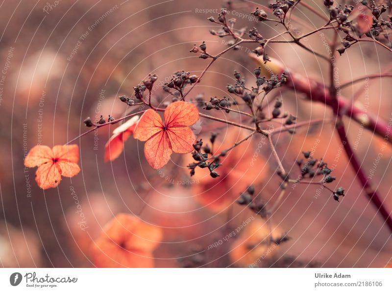 Faded Hydrangeas Design Harmonious Contentment Relaxation Calm Meditation Arrange Decoration Wallpaper Image Poster Funeral service Nature Plant Autumn Flower