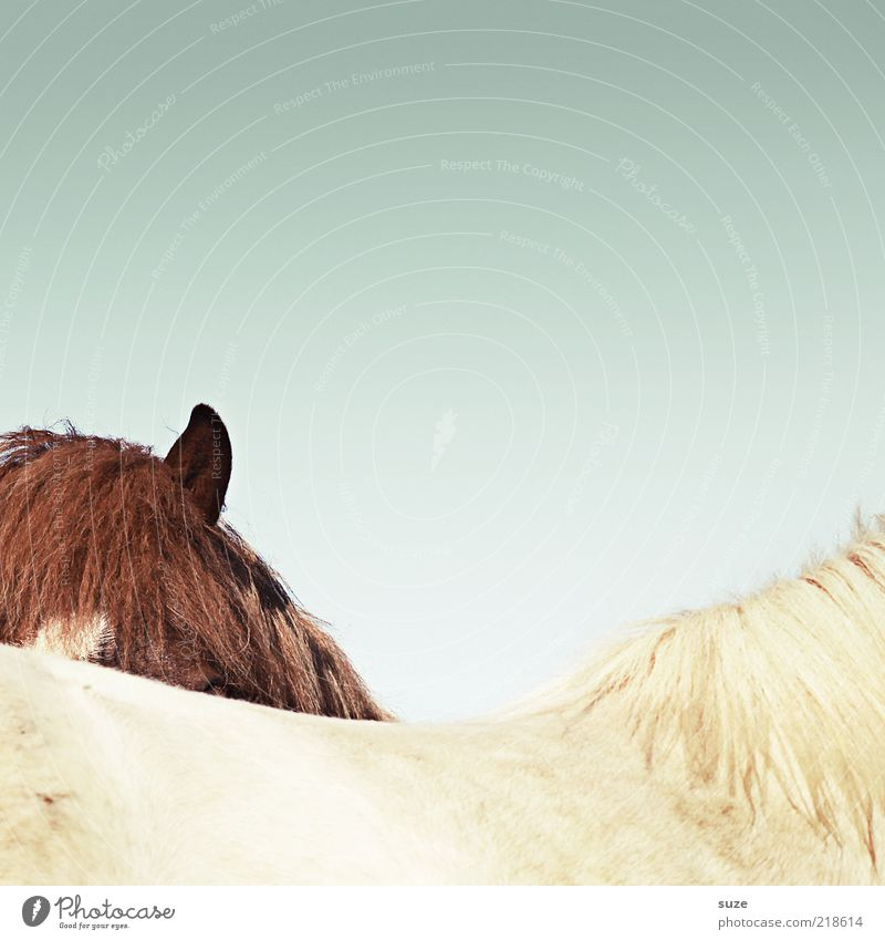 You don't see me. Environment Nature Animal Sky Cloudless sky Beautiful weather Farm animal Wild animal Horse 2 Exceptional Funny Brown White Mane Iceland Pony