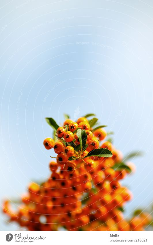 Nature Sky Blue Plant Leaf Orange Environment Perspective Growth Natural Many Hang Berries Poison Blue sky Wild plant