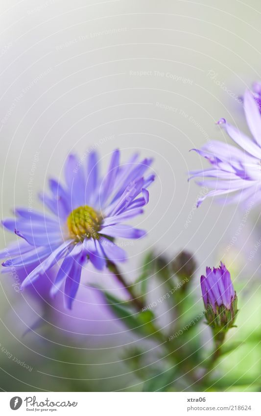 postcard morning Nature Plant Flower Blossom Blue Gray Violet Colour photo Exterior shot Close-up Detail Copy Space top Shallow depth of field Deserted