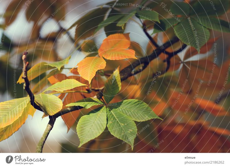 ... and paints the leaves Nature Autumn Beautiful weather Tree Leaf Horse chestnut Autumn leaves Park To fall Hang Illuminate Elegant Dry Multicoloured Yellow