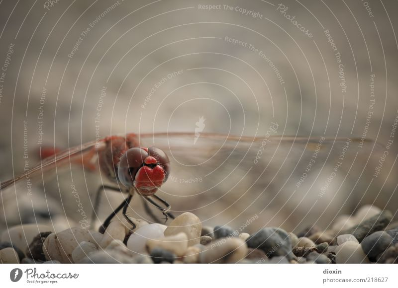 Sympetrum meridionale (Male) Pebble Gravel beach Animal Animal face Dragonfly Dragonfly wings Compound eye 1 Crouch Sit Red Nature Delicate Small Relaxation