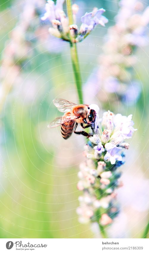 lala - last lavender Nature Plant Animal Summer Beautiful weather Flower Leaf Blossom Lavender Garden Park Meadow Wild animal Bee Animal face Wing 1 Blossoming