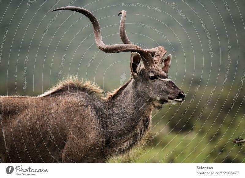 corkscrews Vacation & Travel Tourism Trip Adventure Far-off places Freedom Safari Expedition Nature Animal Wild animal Animal face Antlers Antelope Kudu 1 Near