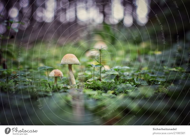 Mushrooms in the forest Forest Deep depth of field Moss Nature Plant Exterior shot Colour photo Deserted green Environment Close-up forest soils Worm's-eye view
