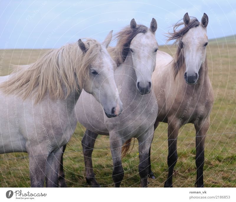 All three together Environment Plant Wind Grass Animal Wild animal Horse 3 Esthetic Near Curiosity Beautiful Pasture Mane White Noble Excitement