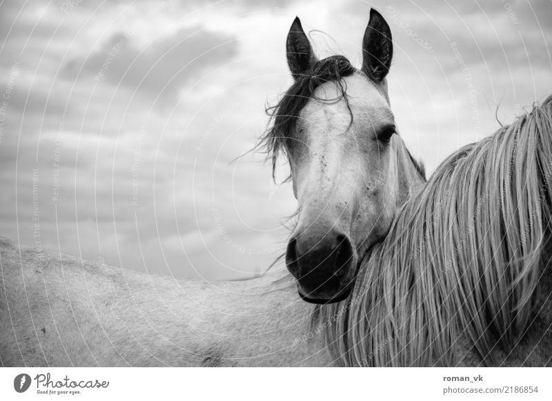 headrest Animal Horse 1 Dark Elegant Bright Northern Ireland Pasture Hairy Mane Friendship Head Black & white photo Wild animal Nostrils Pelt Back