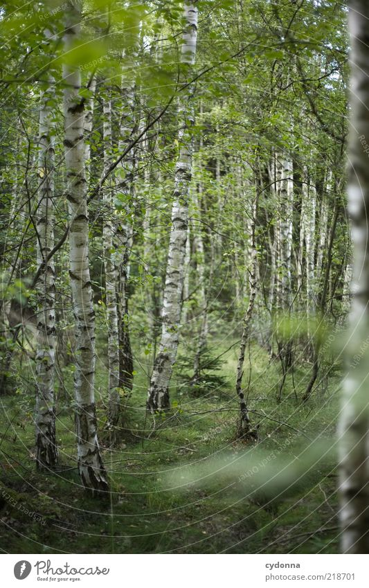 I like birches. Well-being Contentment Relaxation Calm Environment Nature Tree Forest Loneliness Uniqueness Discover Mysterious Idyll Life Sustainability