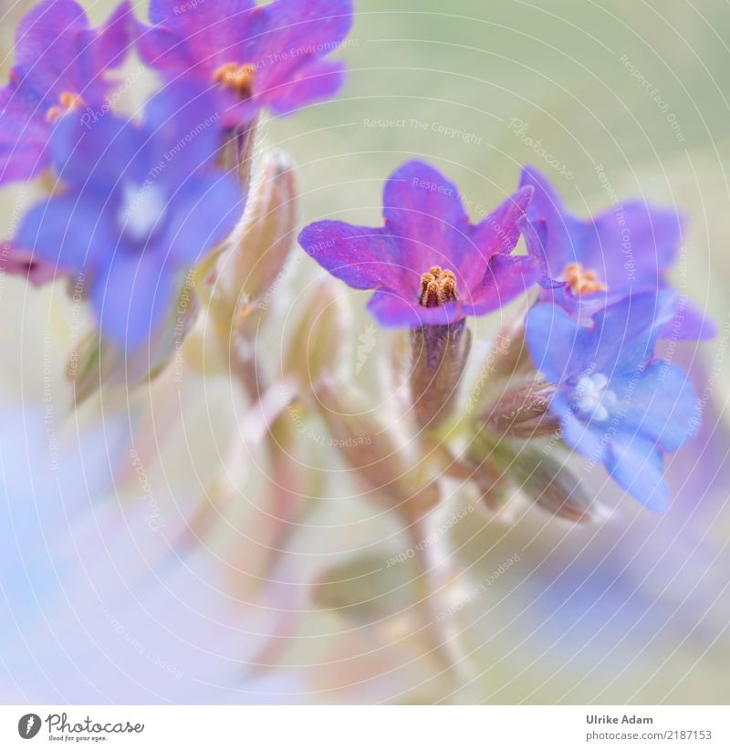 Delicate blue flowers Design Life Harmonious Relaxation Calm Meditation Decoration Image Poster Nature Plant Spring Summer Flower Blossom Herbaceous plants