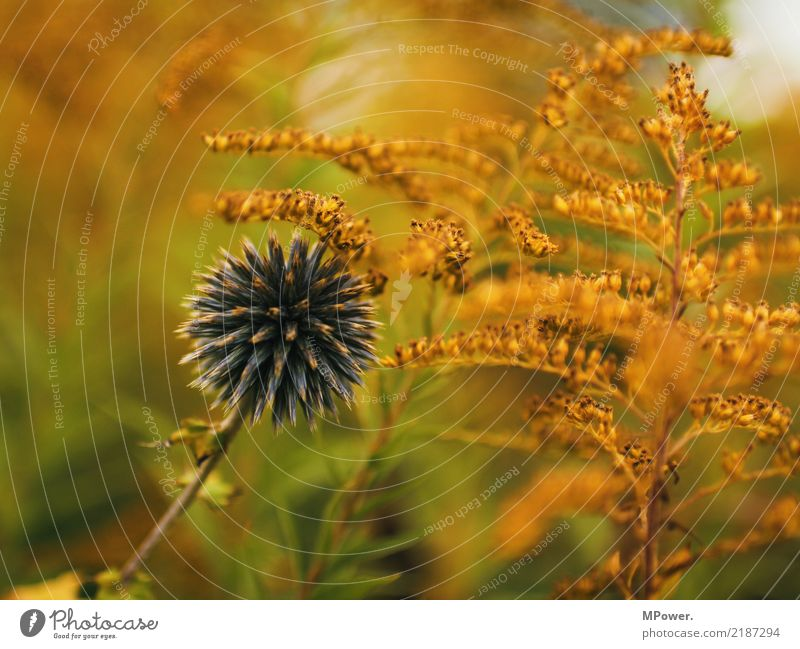 autumn colours Environment Autumn Plant Flower Fern Blossom Wild plant Blue Orange Thorny Thistle Multicoloured Colour photo Deserted Shallow depth of field