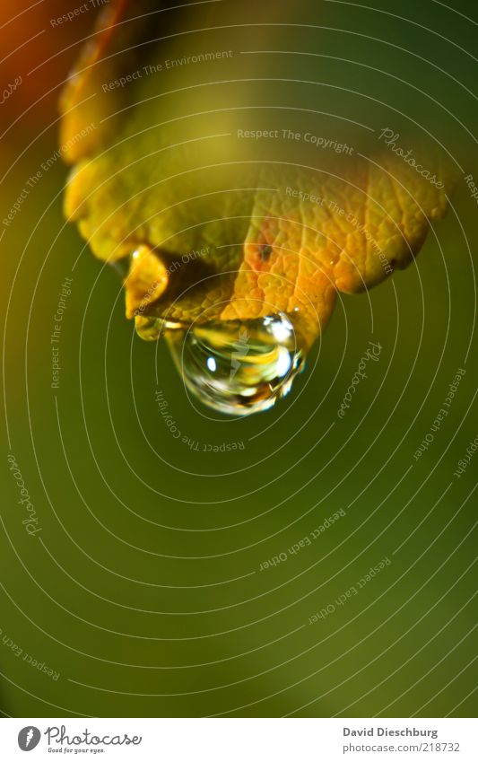 Nature Water Green Plant Leaf Autumn Glittering Wet Drops of water Individual Drop Damp Dew Autumn leaves Autumnal Autumnal colours