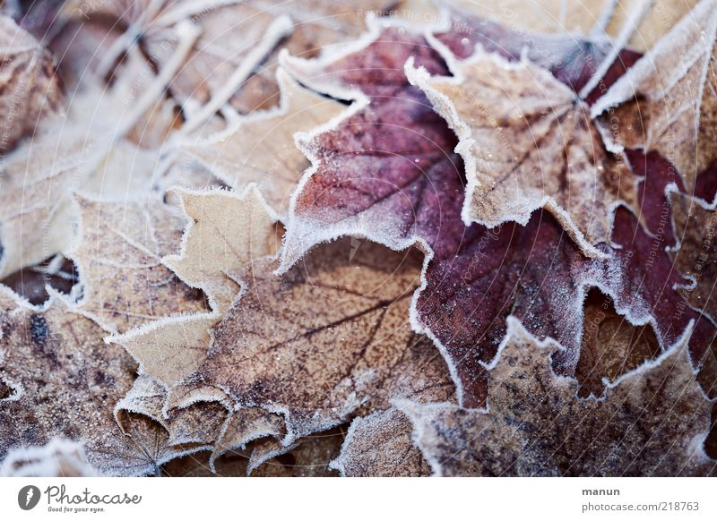 Nature Beautiful Winter Leaf Cold Autumn Ice Fresh Frost Change Transience Natural Hoar frost Autumn leaves Autumnal Autumnal colours