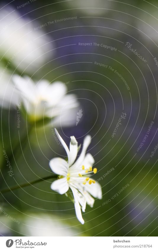 flowery Environment Nature Plant Spring Summer Flower Blossom Growth Blossoming Pollen Colour photo Exterior shot Deserted Blur Blossom leave White Close-up Day