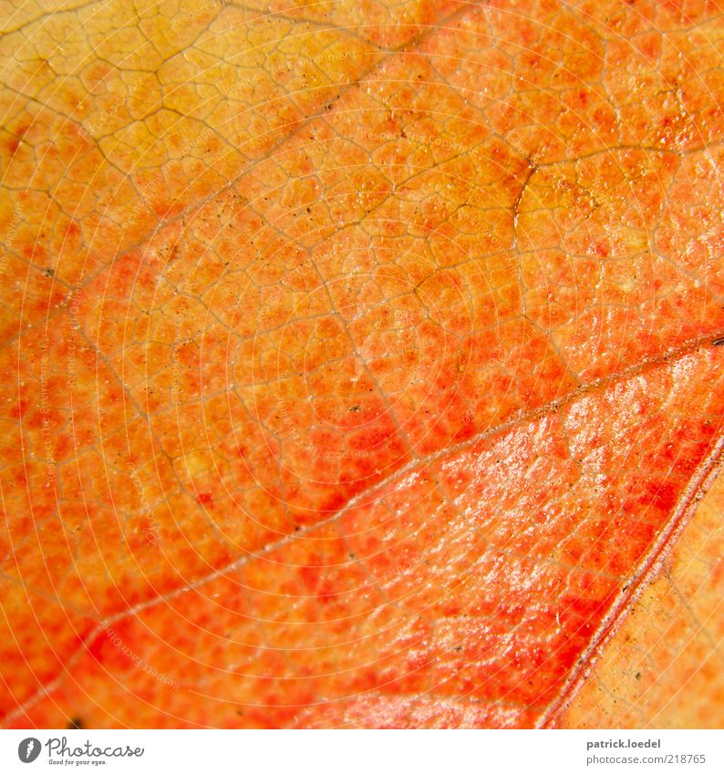dermis Environment Nature Plant Leaf Old Esthetic Orange Yellow Red Autumn Structures and shapes Colour photo Close-up Detail Deserted Rachis