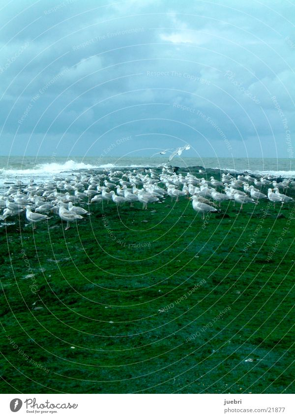 Seagulls at the North Sea Green Ocean Netherlands Water Sky