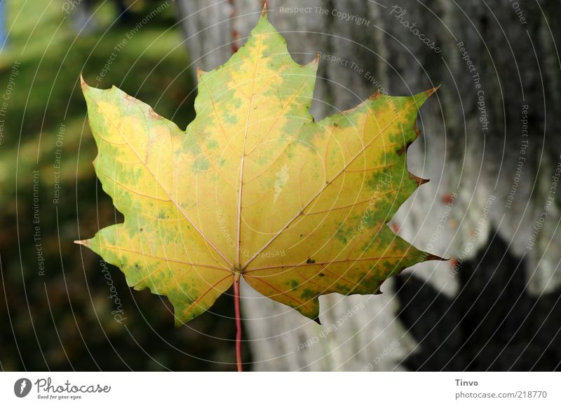 Nature Green Leaf Yellow Meadow Autumn To fall Transience Middle Tree trunk Hover Autumn leaves Autumnal Autumnal colours Maple leaf Leaf shade