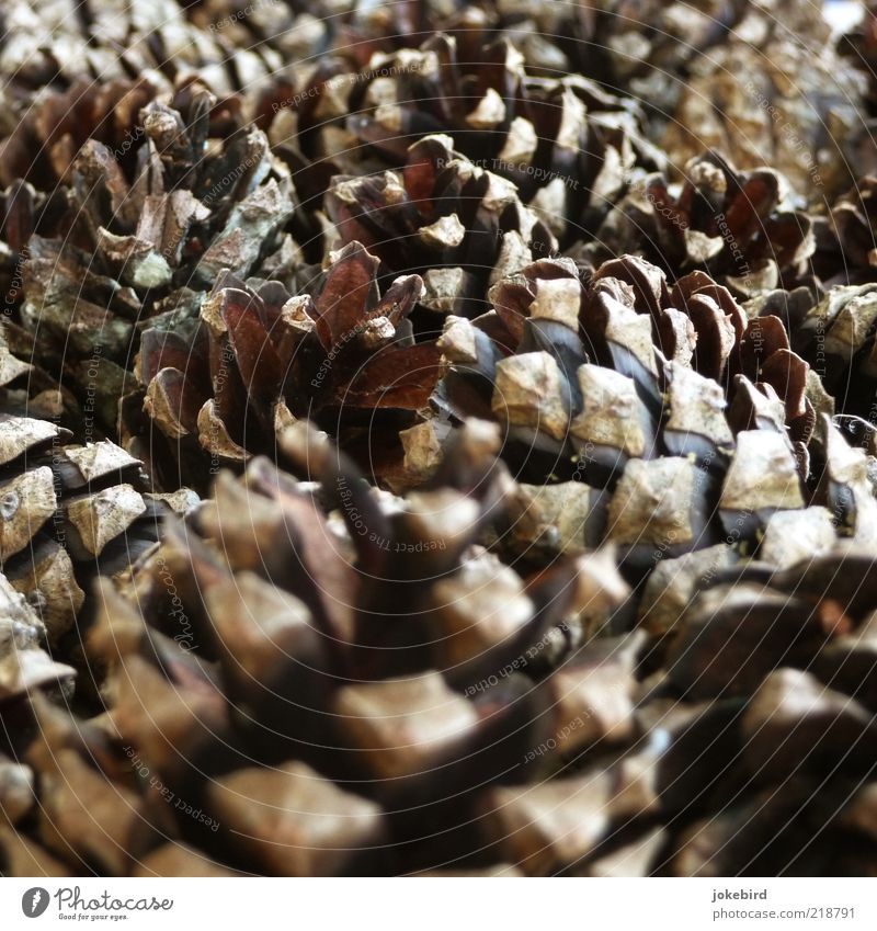 cuddly group Autumn Wood Small Point Brown Black Cone Pine Decoration Christmas decoration Colour photo Exterior shot Deserted Day Many Multiple Pine cone