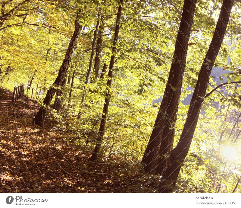 forest path Environment Nature Landscape Autumn Tree Forest Brown Yellow Gold Green Beech wood Beech tree Shaft of light Bright Autumn leaves Autumnal colours