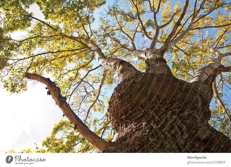 Sky Tree Green Leaf Autumn Brown Growth Branch Tree trunk Beautiful weather Tree bark