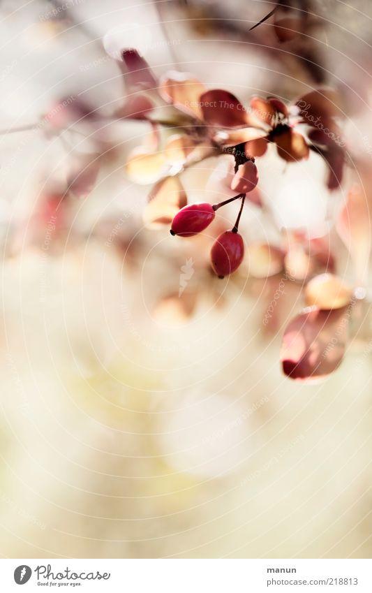 Nature Beautiful Plant Leaf Autumn Bright Pink Fruit Fresh Perspective Bushes Authentic Fantastic Natural Original Autumn leaves