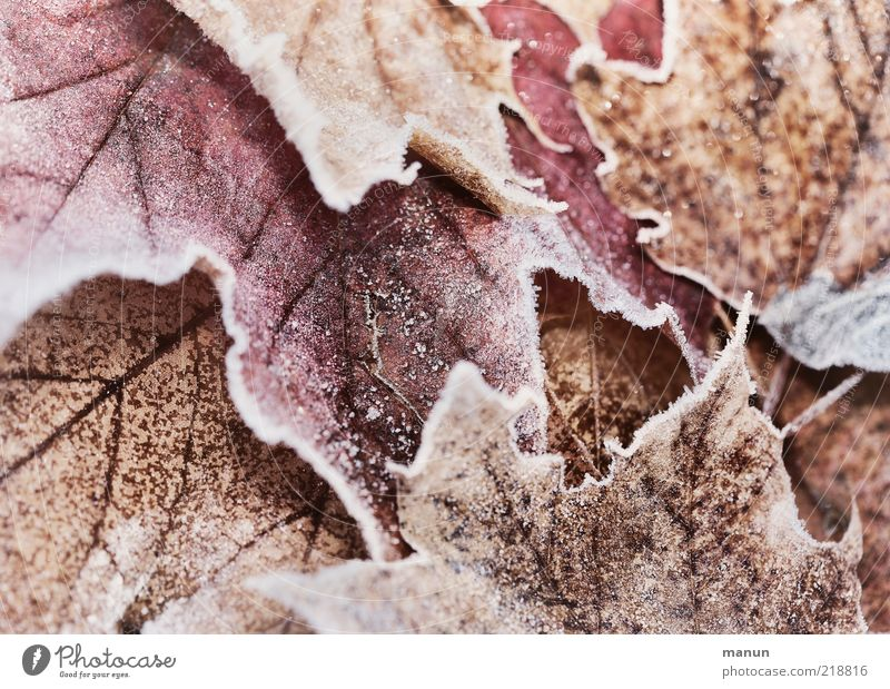 Nature Beautiful Leaf Winter Cold Autumn Natural Ice Fresh Frost Frozen Autumn leaves Autumnal Original Autumnal colours Hoar frost