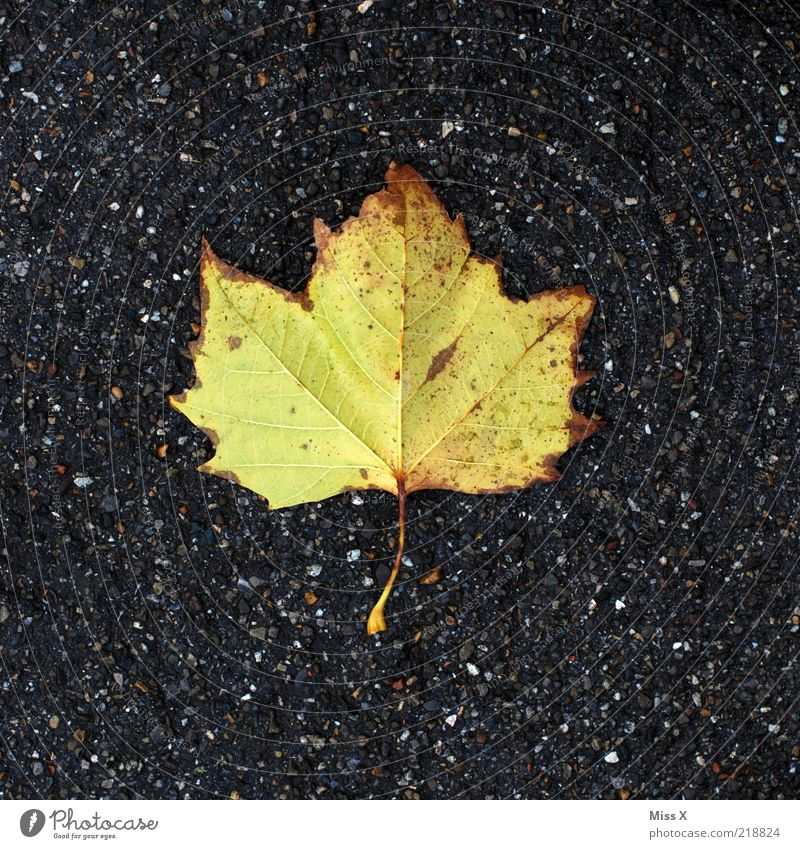 Leaf Yellow Autumn Lie Transience Autumn leaves American Sycamore Autumnal colours Bright green