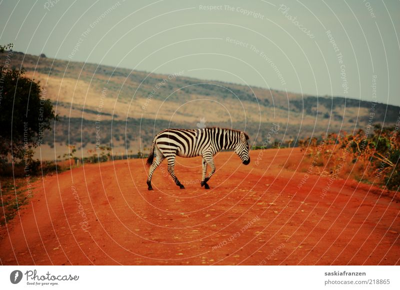 Zebra crossing. Landscape Sand Warmth Animal Wild animal Pelt 1 Movement Going Walking Esthetic Elegant Free Natural Red Black White Camouflage Safari Africa