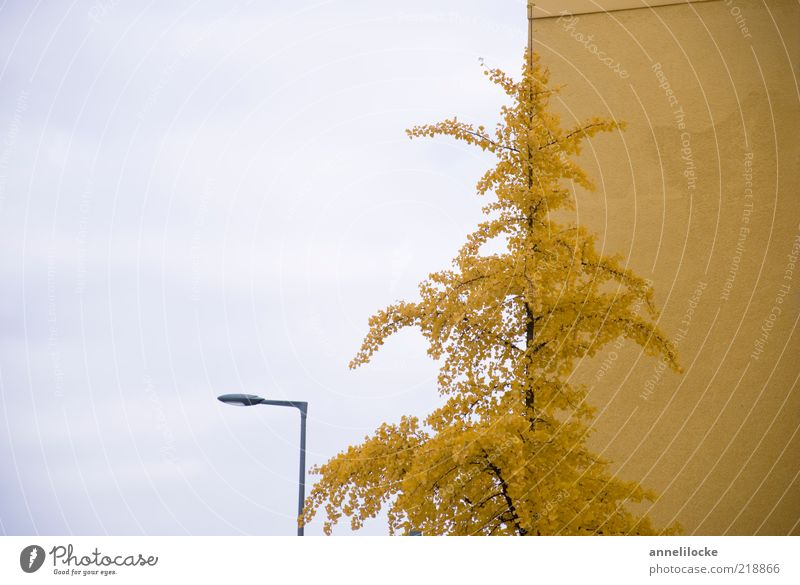 Golden autumn average Environment Nature Plant Sky Autumn Tree Leaf Ginko House (Residential Structure) Wall (barrier) Wall (building) Facade Yellow Transience