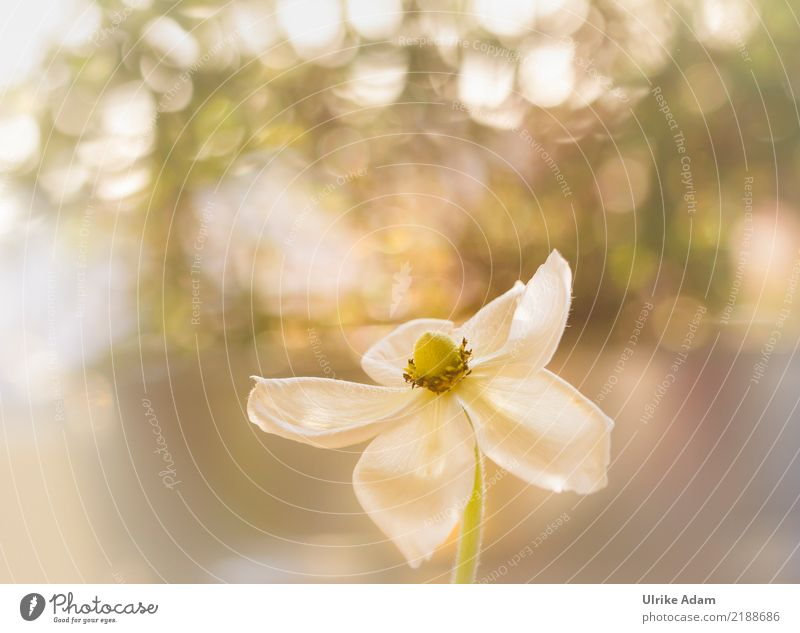 Anemone in the light Life Whirlpool Nature Plant Spring Autumn Flower Blossom Garden Park Blossoming Glittering Illuminate Gigantic White Chaos Beautiful Blur