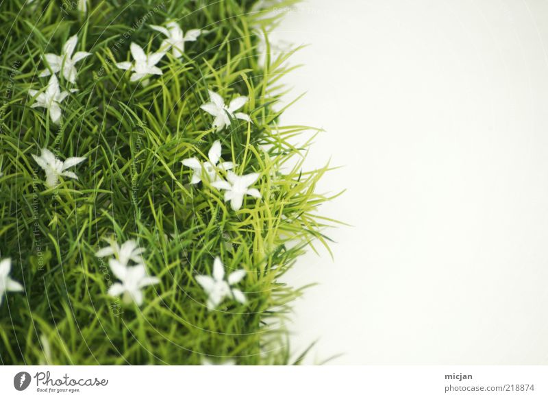 Nature Plant Green White Summer Flower Cold Meadow Grass Spring Blossom Natural Growth Blossoming Tilt Lawn
