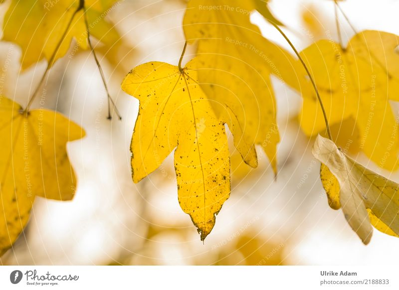 Nature Plant Tree Leaf Forest Yellow Autumn Natural Garden Park Illuminate Glittering Gold Transience Longing