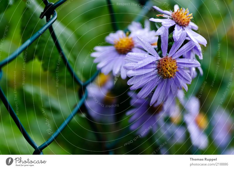 Nature Green Blue Plant Summer Flower Leaf Yellow Garden Blossom Growth Violet Blossoming Fence Grating Blossom leave