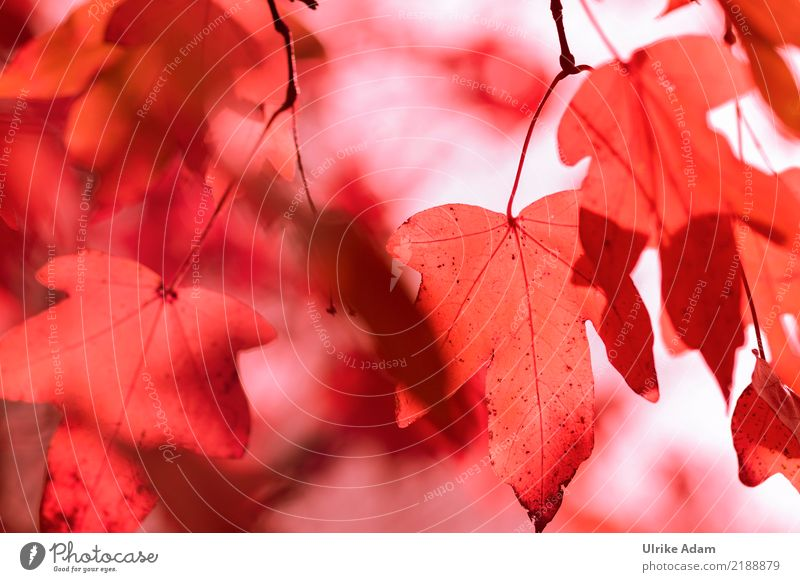 Nature Plant Tree Red Relaxation Leaf Calm Forest Life Warmth Autumn Natural Moody Park Illuminate Transience