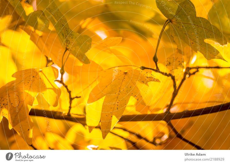 Nature Plant Beautiful Tree Leaf Calm Yellow Autumn Garden Orange Contentment Park Illuminate Glittering Inspiration Autumn leaves