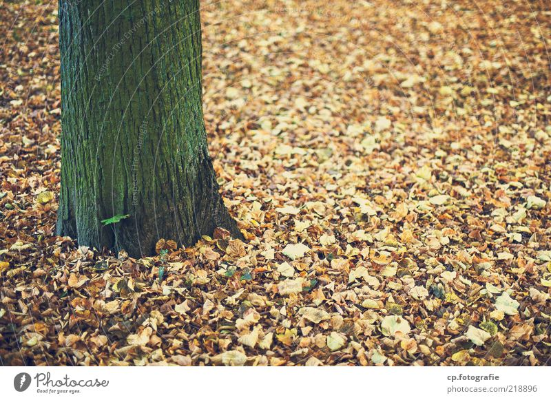 Come to die Environment Nature Plant Earth Autumn Beautiful weather Tree Leaf Deciduous tree Colour photo Day Shallow depth of field Tree trunk Tree bark
