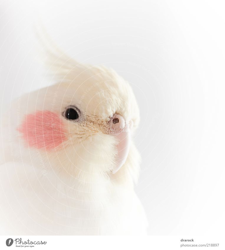 Pancha Animal Pet Bird Animal face 1 Exotic Beautiful Red White Authentic Parakeet Subdued colour Close-up Detail Deserted Day Light High-key