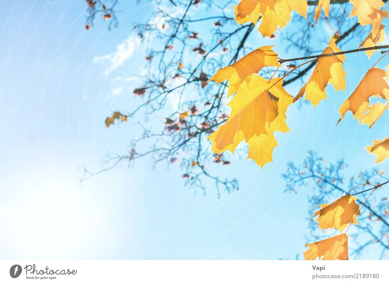 Autumn orange and yellow maple leaves Sky Nature Plant Blue Colour White Sun Tree Landscape Red Clouds Leaf Forest Yellow Environment