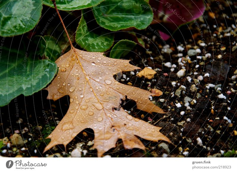 After the rain Plant Earth Drops of water Autumn Bad weather Rain Leaf Foliage plant Esthetic Wet Natural Beautiful Brown Green Black Nature Transience Oak leaf