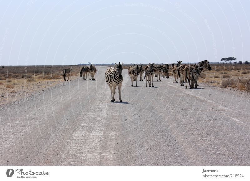 Animal Far-off places Street Warmth Wait Stand Wild animal Dry Many Steppe Zebra Herd Wilderness Traverse Gravel road Cloudless sky