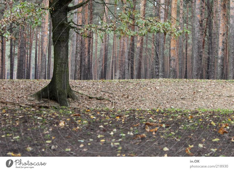 forest whispers Nature Earth Forest Wood Free Natural Emotions Romance Loneliness Mysterious Tree trunk Subdued colour Exterior shot Day Autumnal Autumn leaves